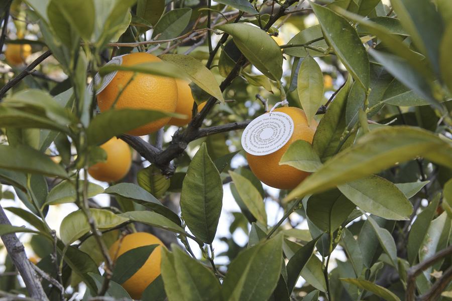 citrus-05