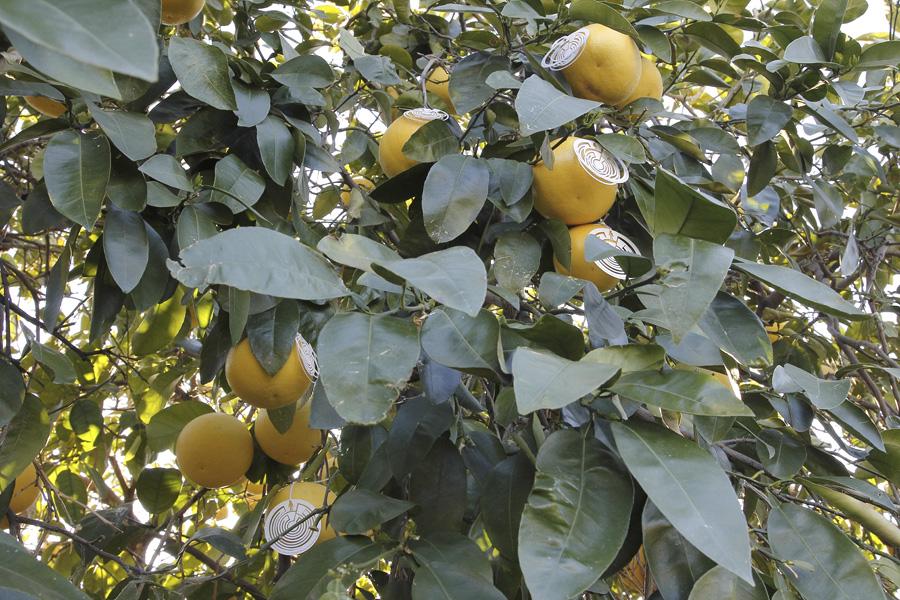 citrus-13