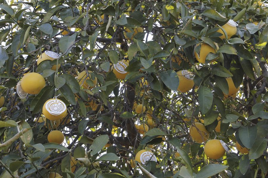citrus-14