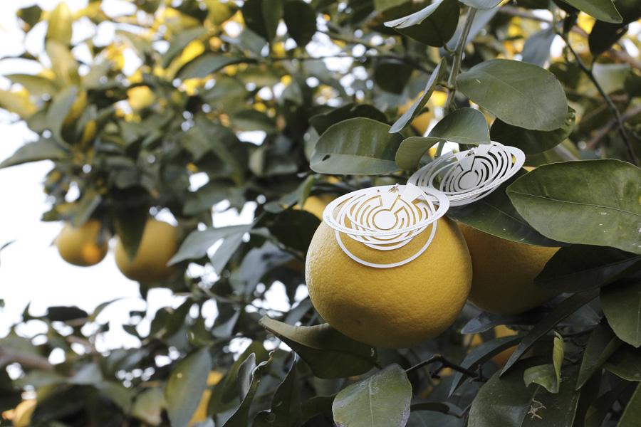 citrus-16