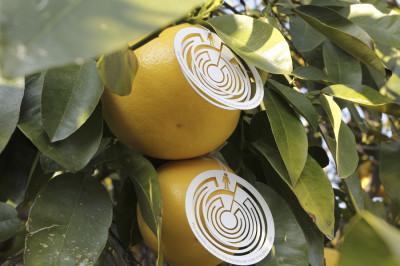 citrus-18