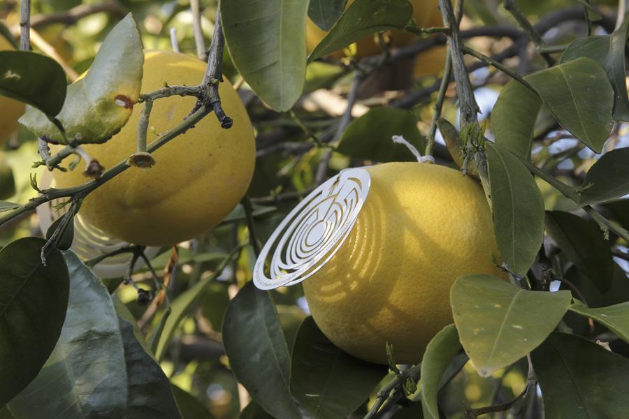 citrus-21