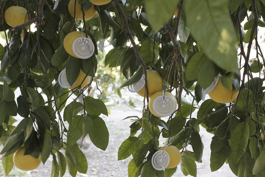citrus-23