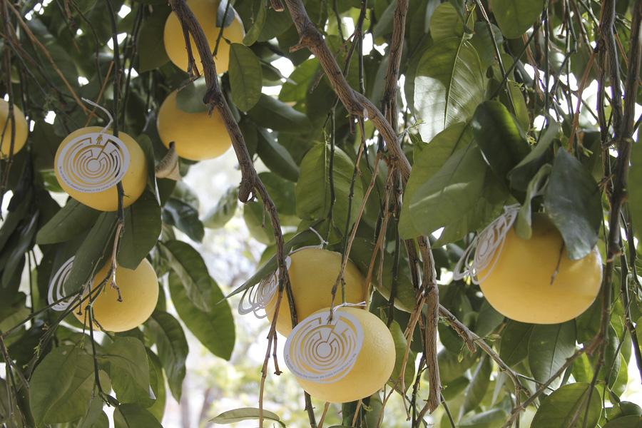 citrus-24