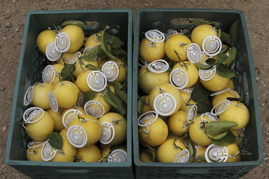 citrus-29